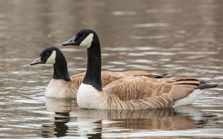 South Pond - geese