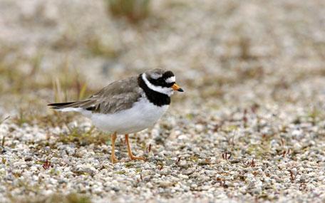 Bird Aware - plover