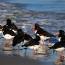 Bird Aware Solent Oystercatchers